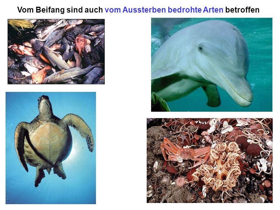 Vom Beifang sind auch vom Aussterben bedrohte Arten betroffen