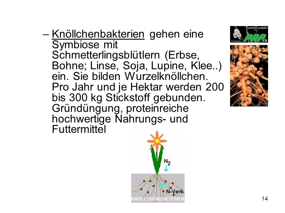 Knöllchenbakterien gehen eine Symbiose mit Schmetterlingsblütlern (Erbse, Bohne; Linse, Soja, Lupine, Klee..) ein.