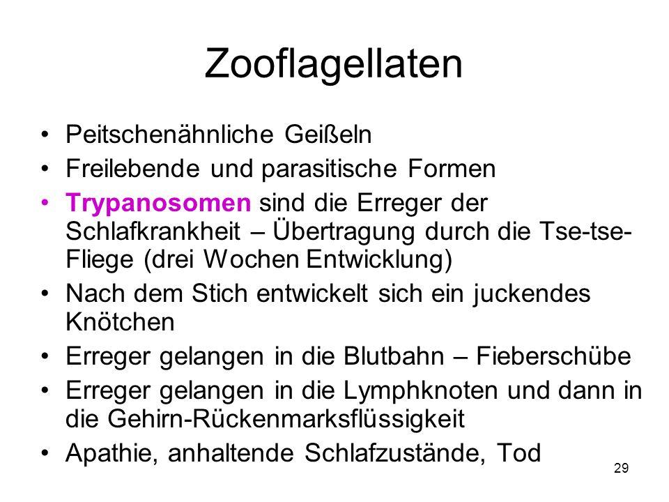 Zooflagellaten Peitschenähnliche Geißeln