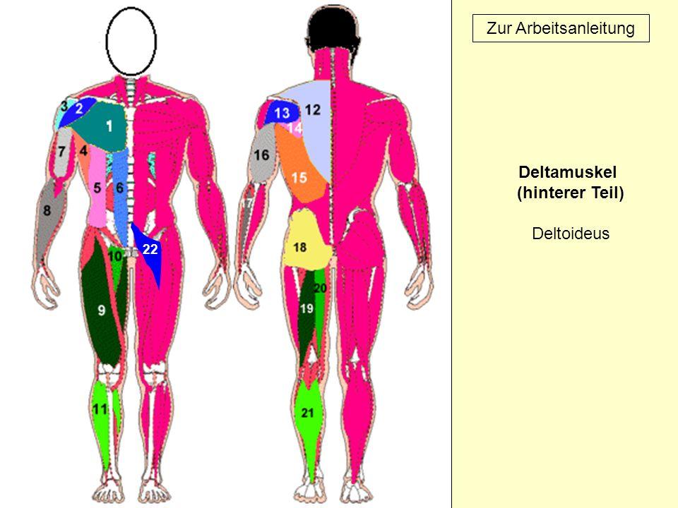Deltamuskel (hinterer Teil) Deltoideus