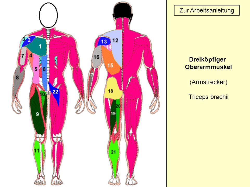 Dreiköpfiger Oberarmmuskel (Armstrecker) Triceps brachii