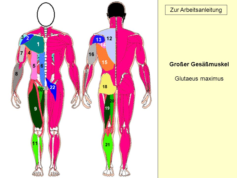 Großer Gesäßmuskel Glutaeus maximus