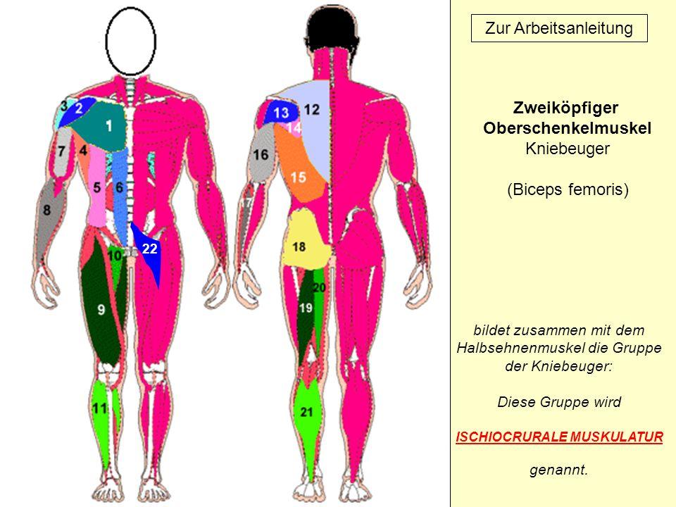 ISCHIOCRURALE MUSKULATUR