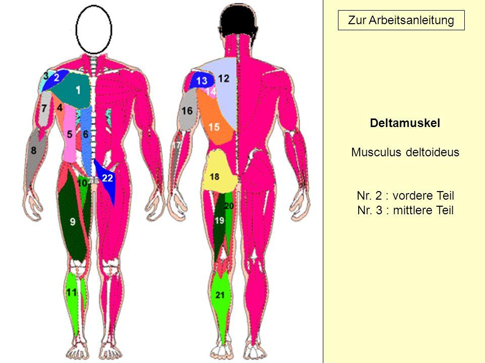 Deltamuskel Musculus deltoideus Nr. 2 : vordere Teil Nr. 3 : mittlere Teil