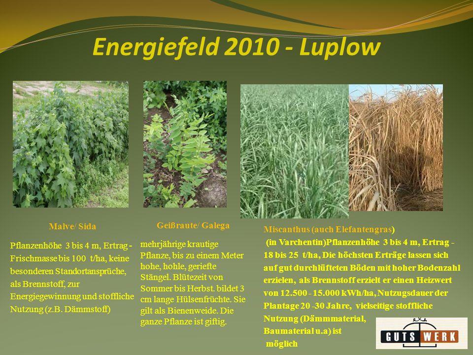 Energiefeld 2010 - Luplow Geißraute/ Galega Malve/ Sida