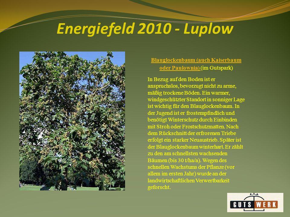 Blauglockenbaum (auch Kaiserbaum oder Paulownia) (im Gutspark)
