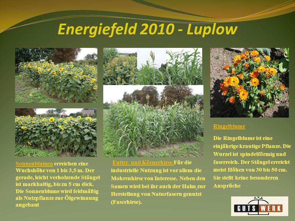Energiefeld 2010 - Luplow Ringelblume