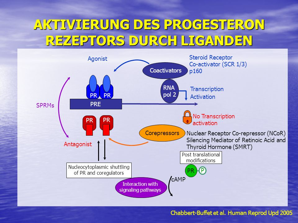 AKTIVIERUNG DES PROGESTERON REZEPTORS DURCH LIGANDEN