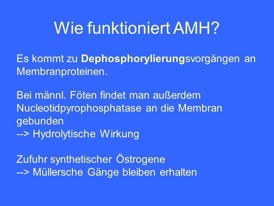 Wie funktioniert AMH Es kommt zu Dephosphorylierungsvorgängen an Membranproteinen.