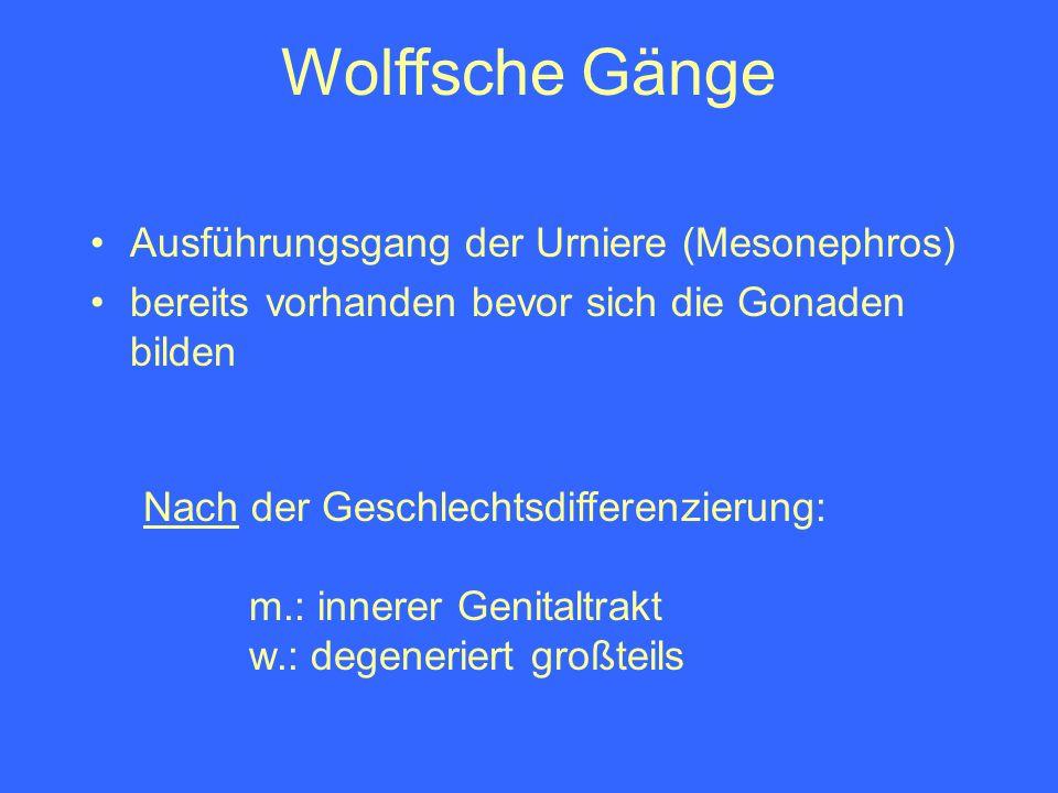 Wolffsche Gänge Ausführungsgang der Urniere (Mesonephros)