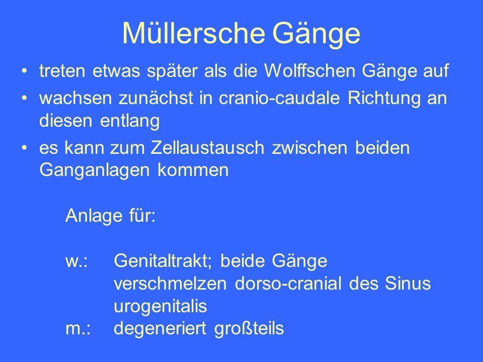 Müllersche Gänge treten etwas später als die Wolffschen Gänge auf