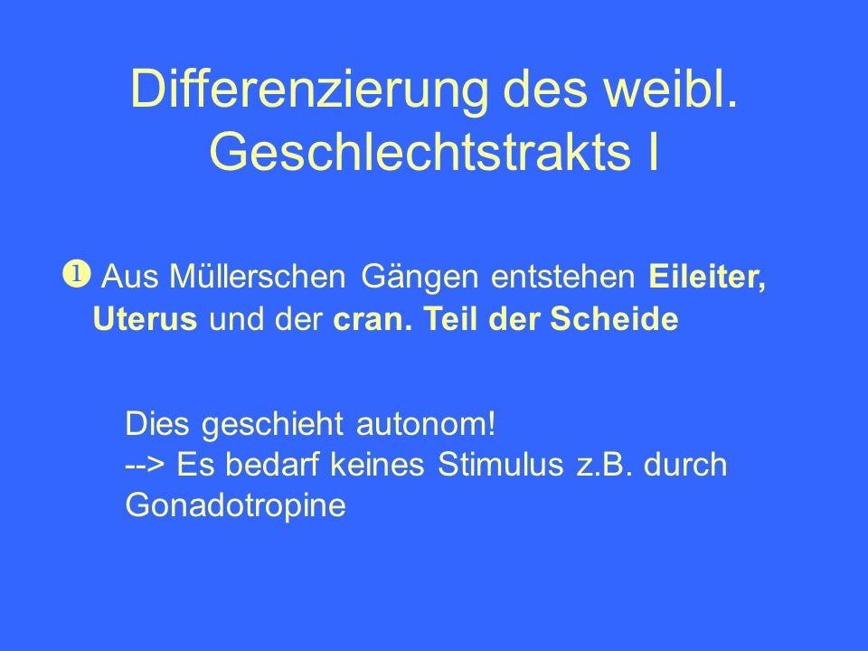 Differenzierung des weibl. Geschlechtstrakts I