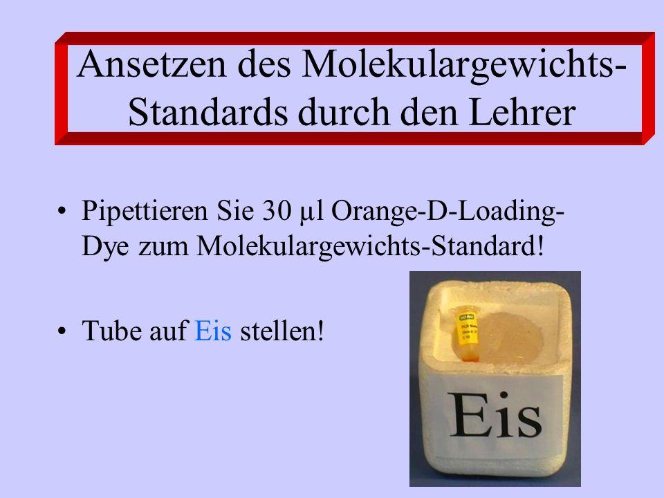 Ansetzen des Molekulargewichts-Standards durch den Lehrer
