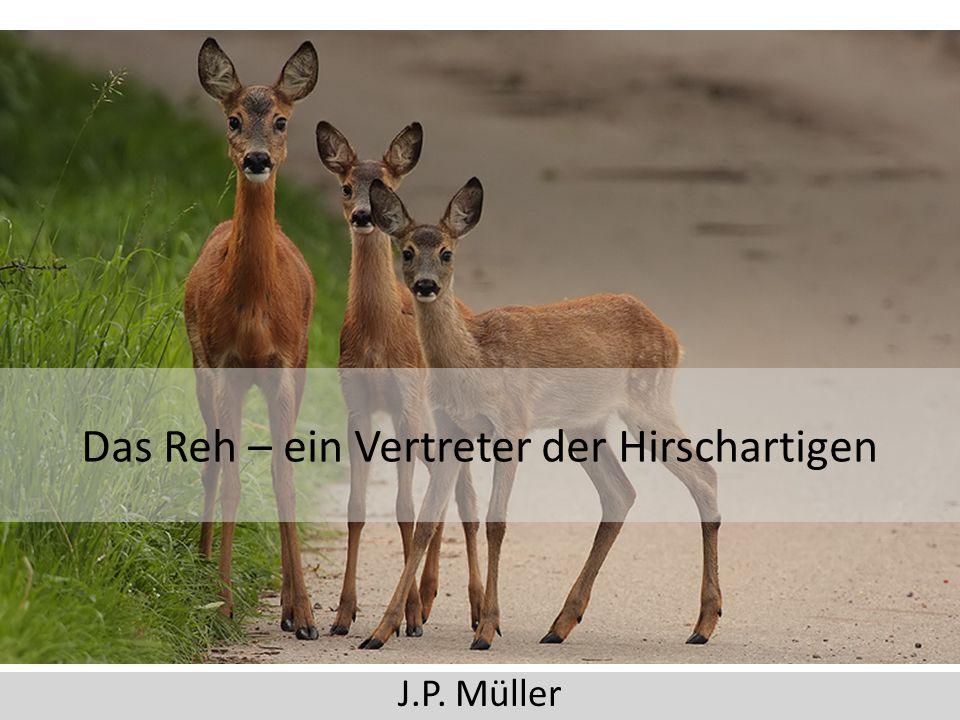 Das Reh – ein Vertreter der Hirschartigen