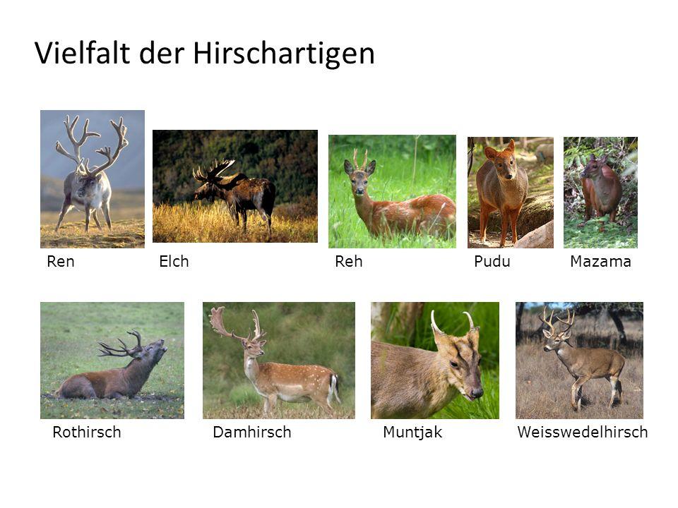 Vielfalt der Hirschartigen