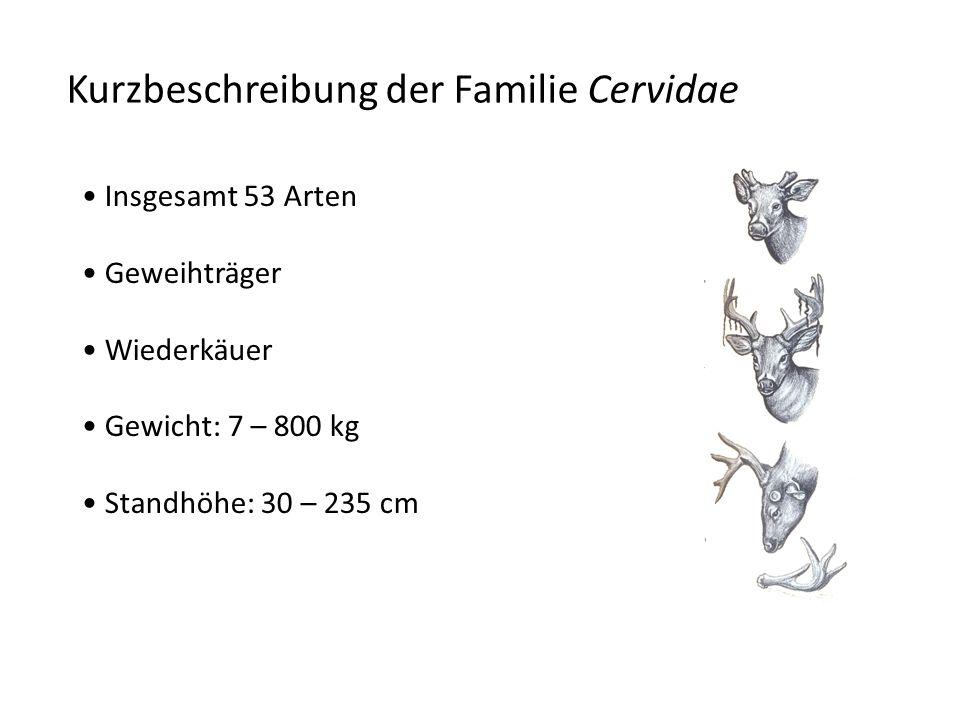 Kurzbeschreibung der Familie Cervidae