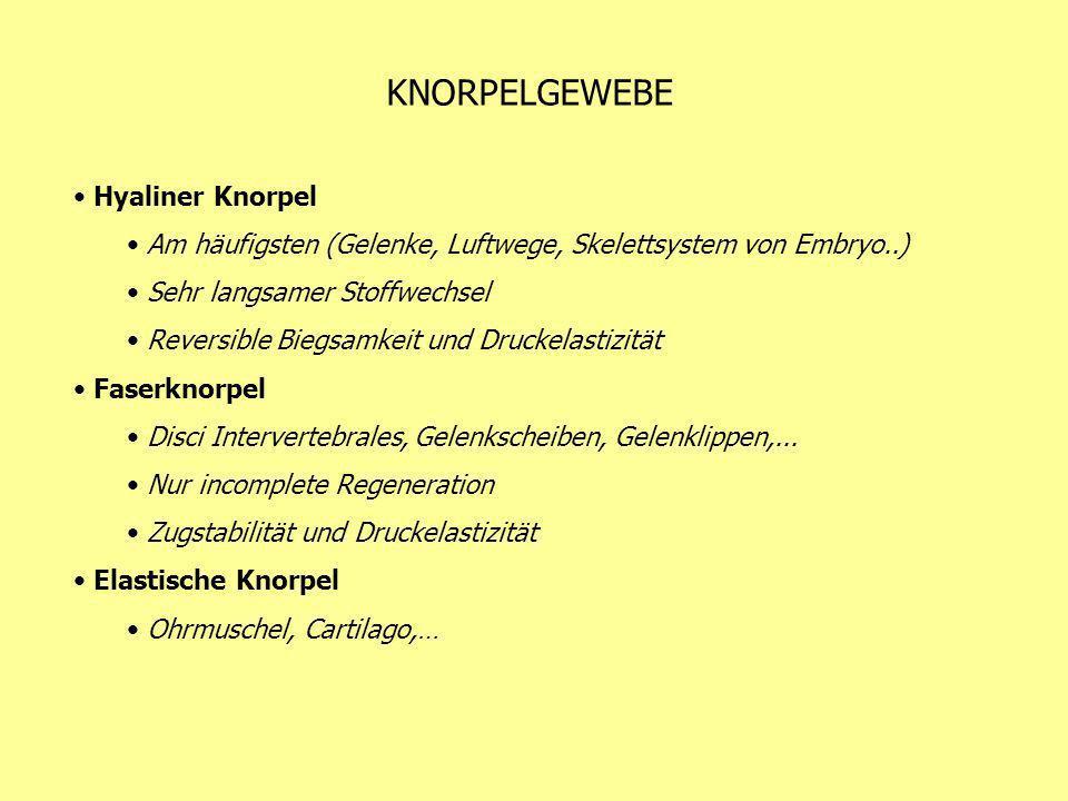 KNORPELGEWEBE Hyaliner Knorpel