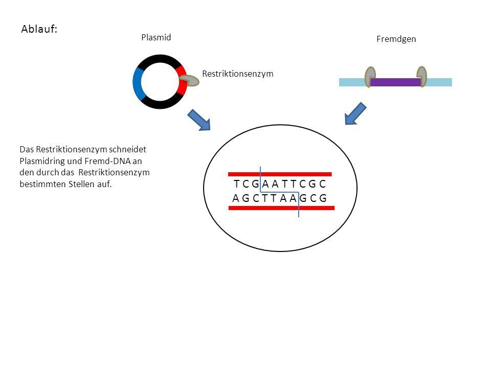 Ablauf: T C G A A T T C G C A G C T T A A G C G Plasmid Fremdgen