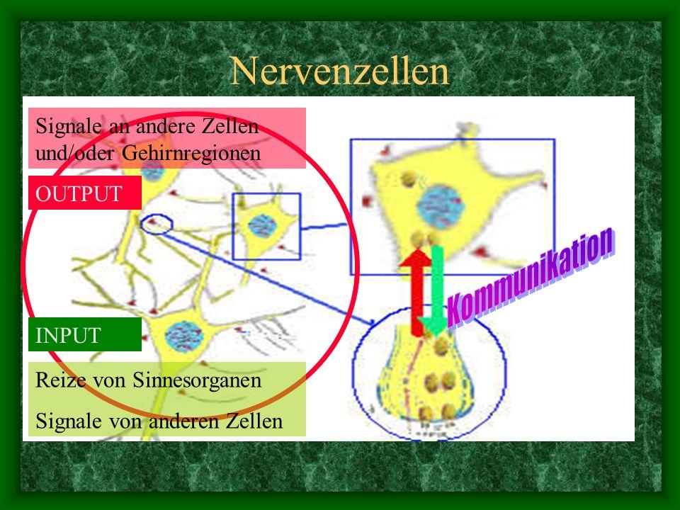 Nervenzellen Kommunikation