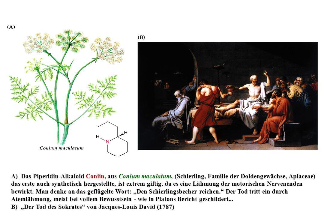 """A) Das Piperidin-Alkaloid Coniin, aus Conium maculatum, (Schierling, Familie der Doldengewächse, Apiaceae) das erste auch synthetisch hergestellte, ist extrem giftig, da es eine Lähmung der motorischen Nervenenden bewirkt. Man denke an das geflügelte Wort: """"Den Schierlingsbecher reichen. Der Tod tritt ein durch Atemlähmung, meist bei vollem Bewusstsein - wie in Platons Bericht geschildert..."""