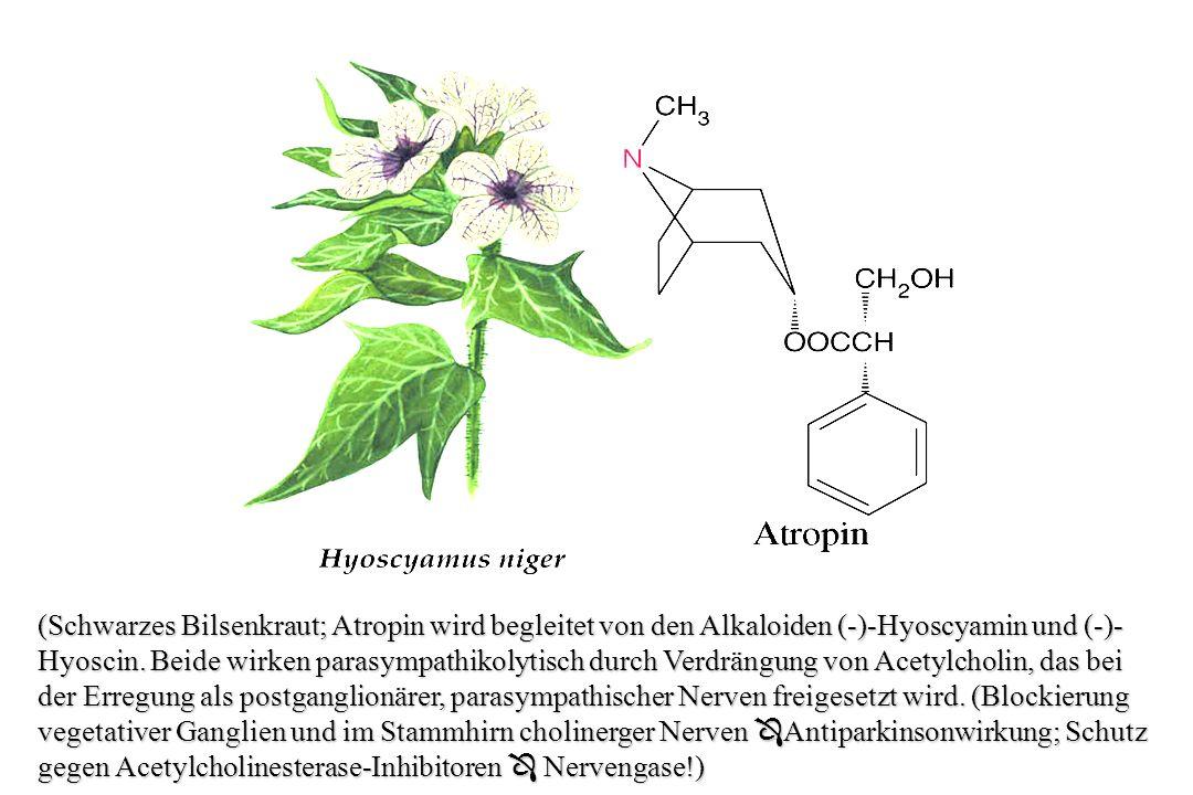 (Schwarzes Bilsenkraut; Atropin wird begleitet von den Alkaloiden (-)-Hyoscyamin und (-)-Hyoscin.