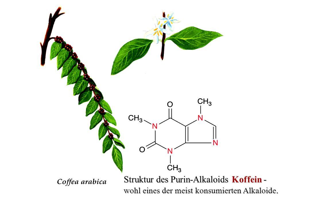 Struktur des Purin-Alkaloids Koffein -