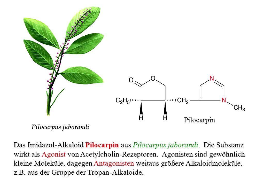 Pilocarpin Das Imidazol-Alkaloid Pilocarpin aus Pilocarpus jaborandi. Die Substanz.