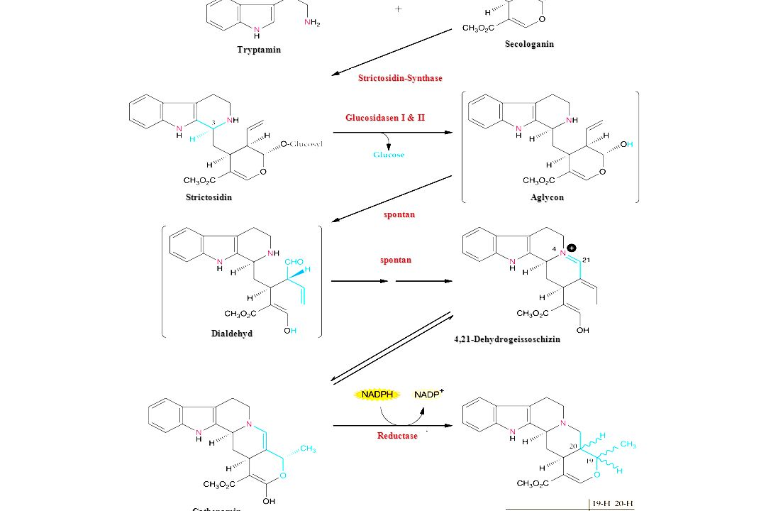 Secologanin Tryptamin. Strictosidin-Synthase. Glucosidasen I & II. Strictosidin. Aglycon. spontan.