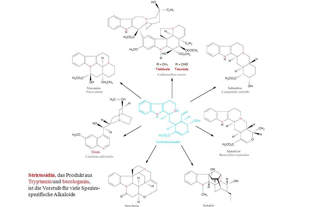 Strictosidin, das Produkt aus Tryptamin und Secologanin,