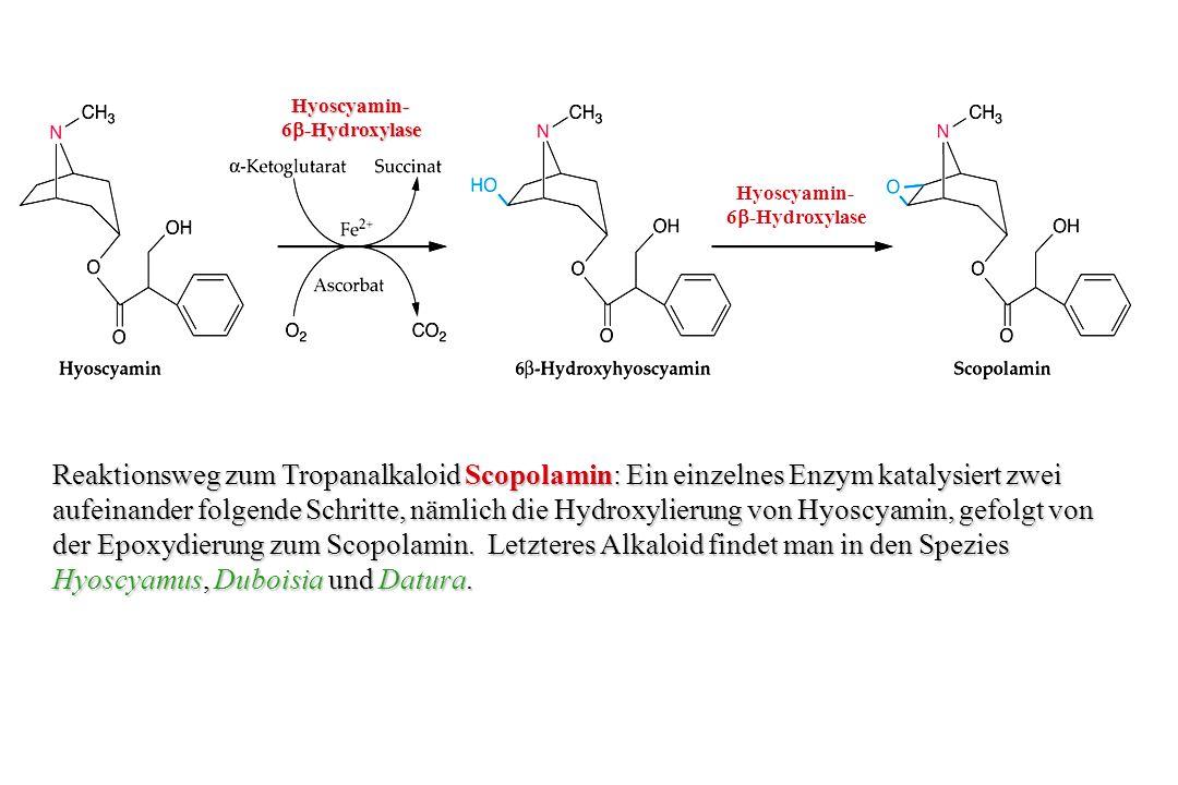 Hyoscyamin- 6b-Hydroxylase. Hyoscyamin- 6b-Hydroxylase.