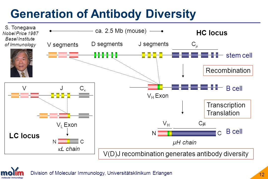 V(D)J recombination generates antibody diversity