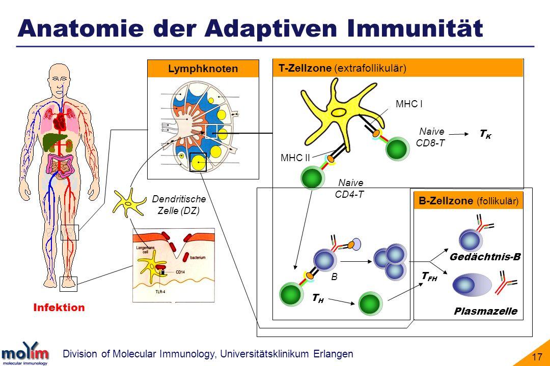 Anatomie der Adaptiven Immunität