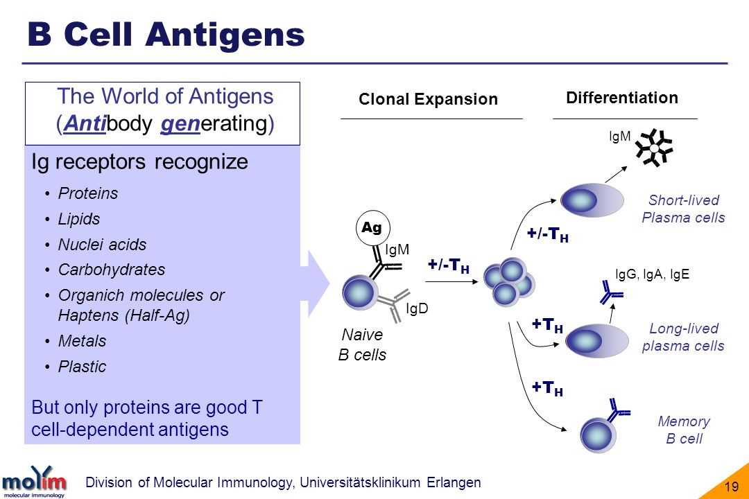 B Cell Antigens The World of Antigens (Antibody generating)