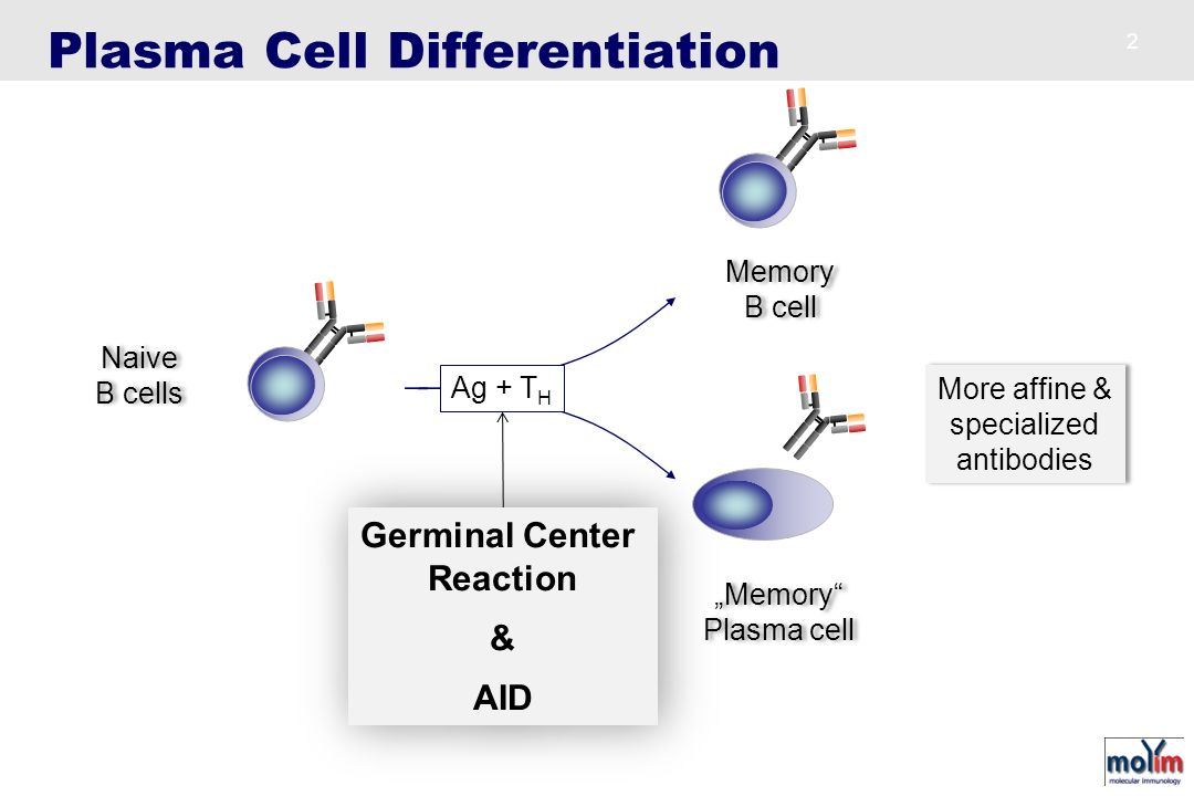 Plasma Cell Differentiation