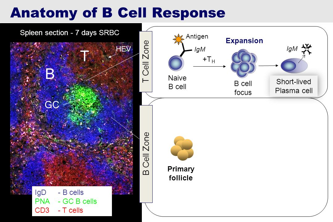 T B Anatomy of B Cell Response GC T Cell Zone B Cell Zone