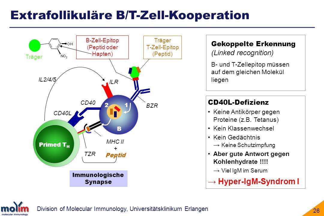 Extrafollikuläre B/T-Zell-Kooperation