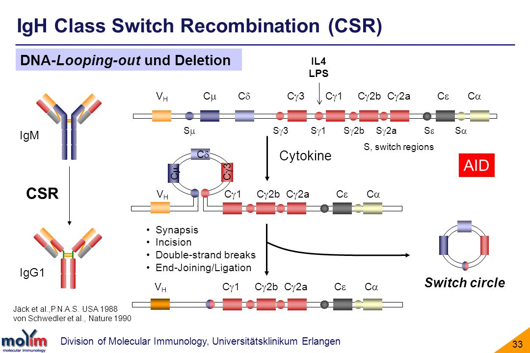 IgH Class Switch Recombination (CSR)