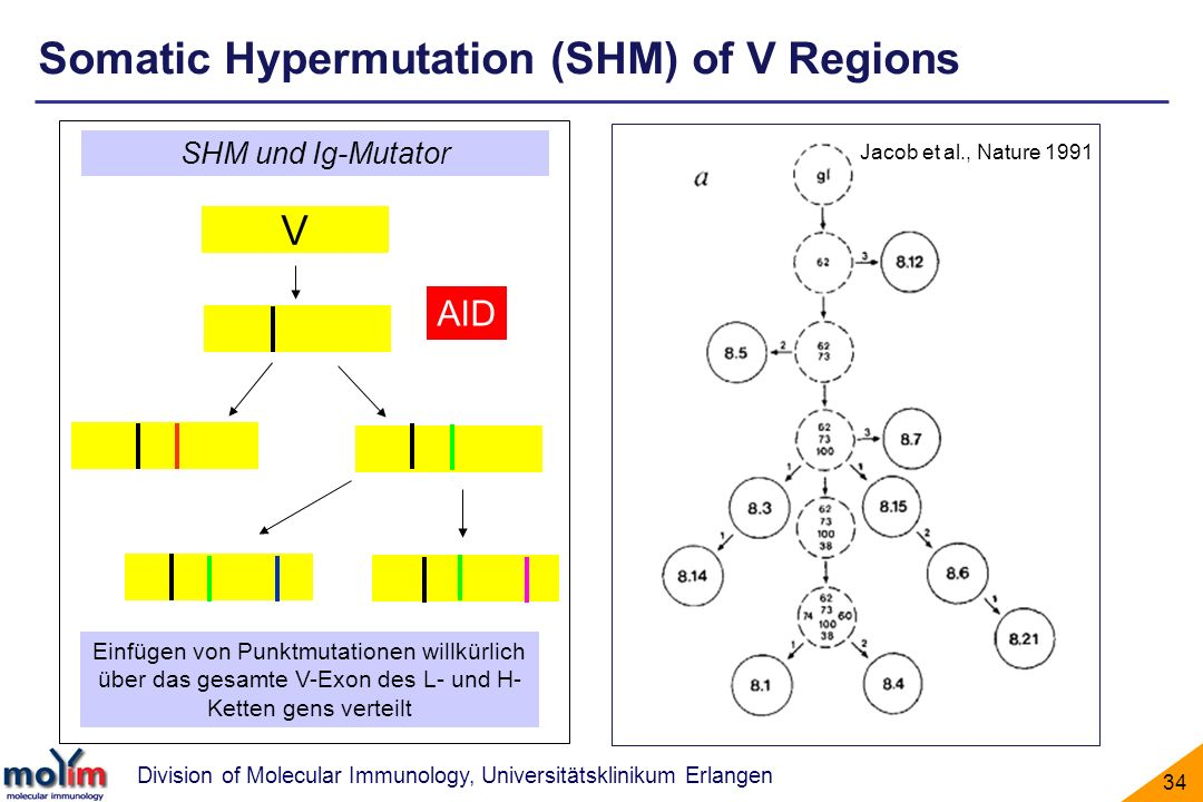 Somatic Hypermutation (SHM) of V Regions