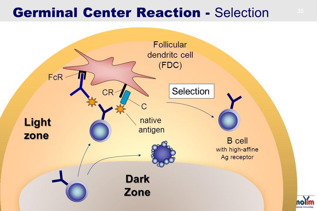 Follicular dendritc cell (FDC)