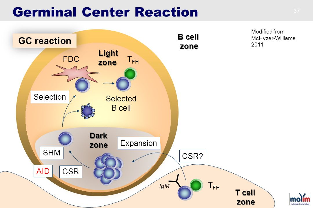 Germinal Center Reaction