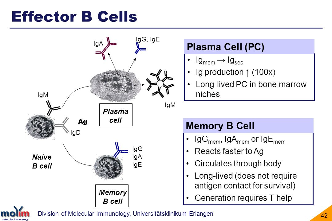 Effector B Cells Plasma Cell (PC) Memory B Cell Igmem → Igsec
