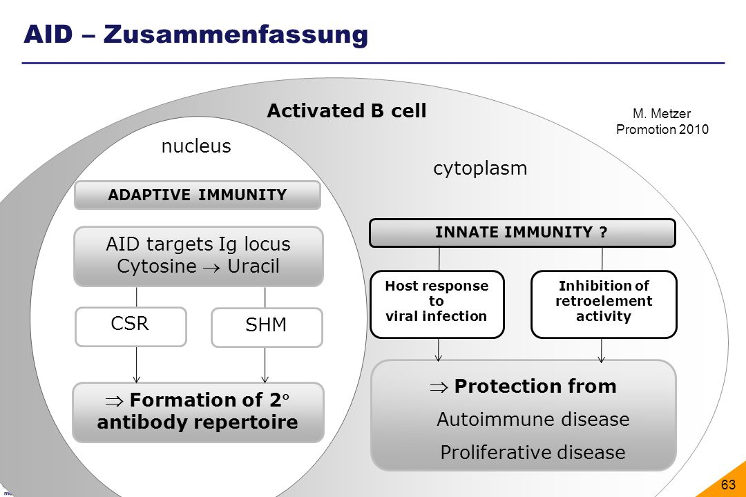 AID – Zusammenfassung Activated B cell nucleus cytoplasm