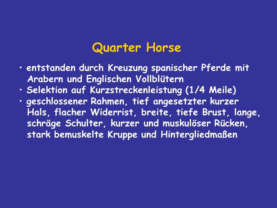Quarter Horse entstanden durch Kreuzung spanischer Pferde mit Arabern und Englischen Vollblütern.