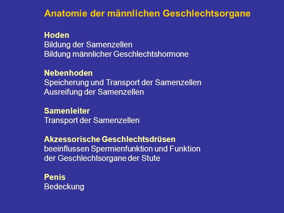 Anatomie der männlichen Geschlechtsorgane