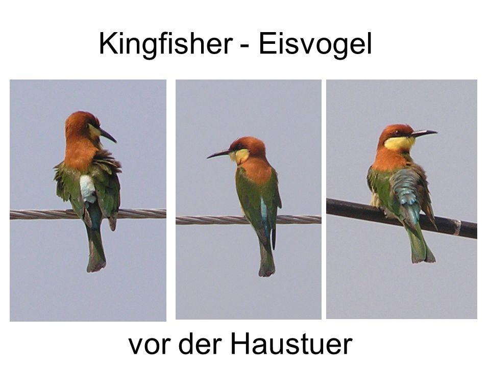 Kingfisher - Eisvogel vor der Haustuer