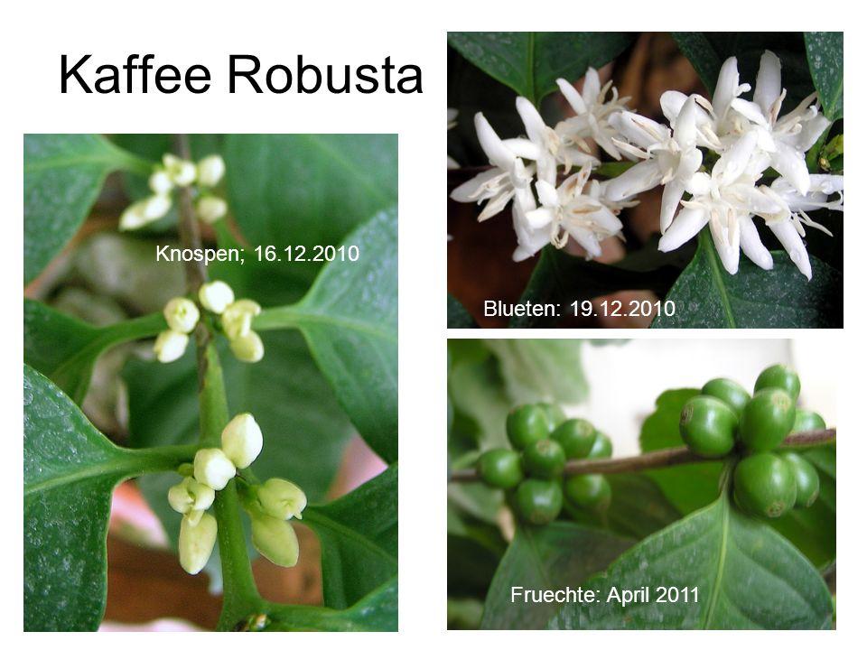 Kaffee Robusta Knospen; 16.12.2010 Blueten: 19.12.2010