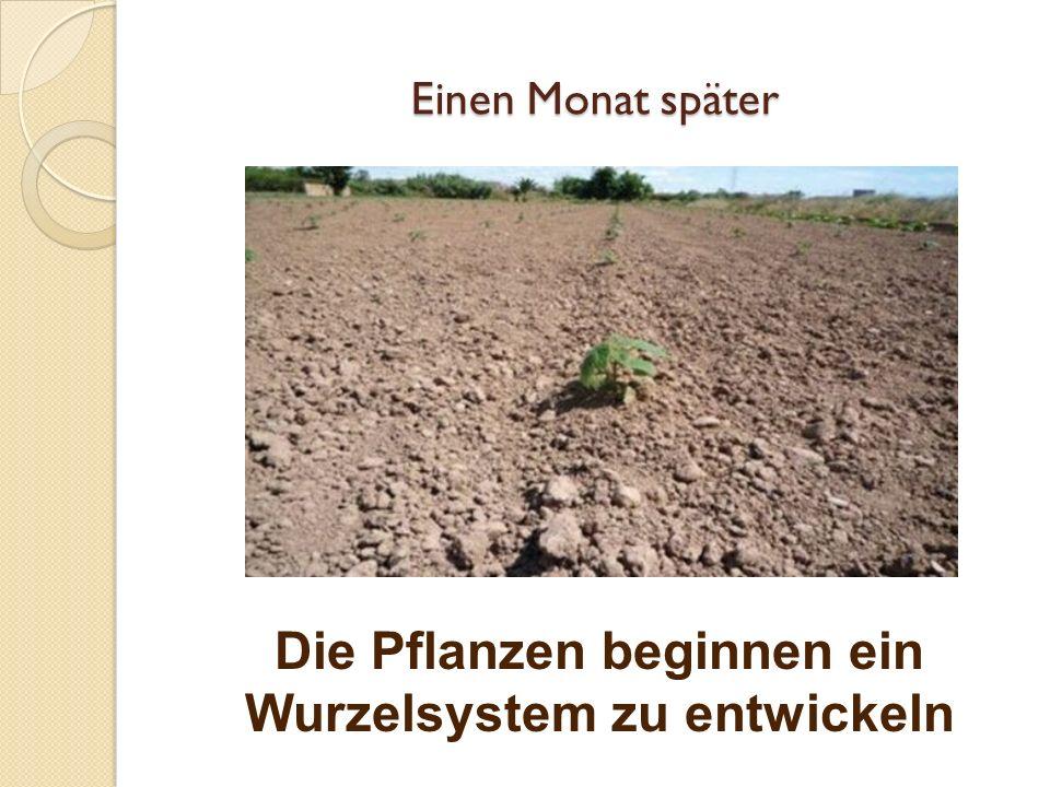 Die Pflanzen beginnen ein Wurzelsystem zu entwickeln