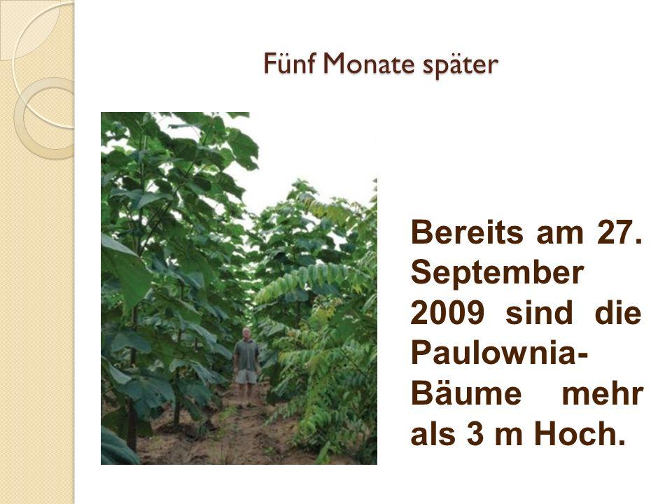Fünf Monate später Bereits am 27. September 2009 sind die Paulownia- Bäume mehr als 3 m Hoch.