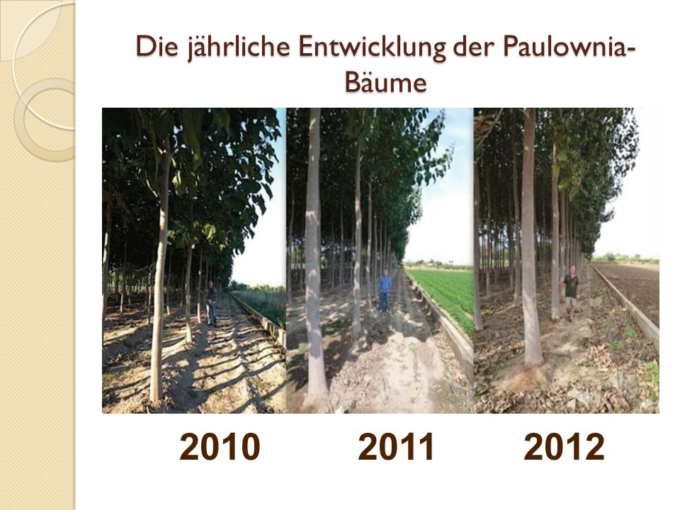 Die jährliche Entwicklung der Paulownia-Bäume