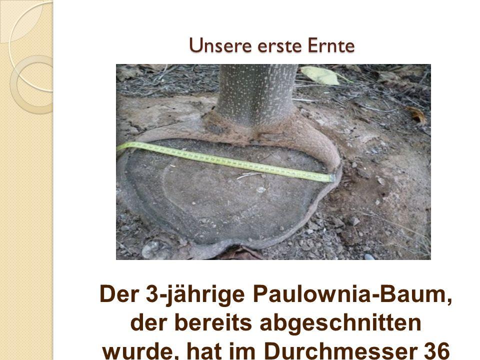 Unsere erste Ernte Der 3-jährige Paulownia-Baum, der bereits abgeschnitten wurde, hat im Durchmesser 36 cm gemessen.